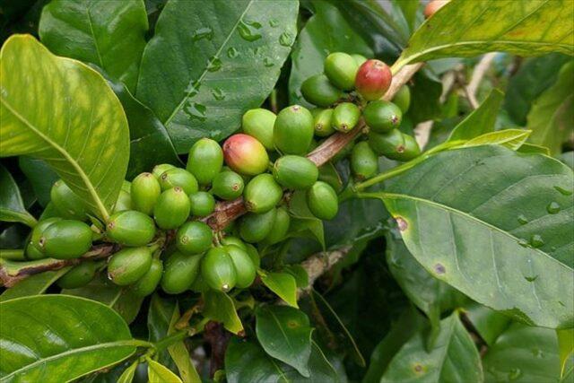 ミツバチによる受粉でコーヒーの花からコーヒー豆ができる。