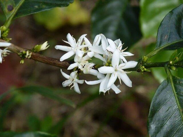 コーヒーの花の写真